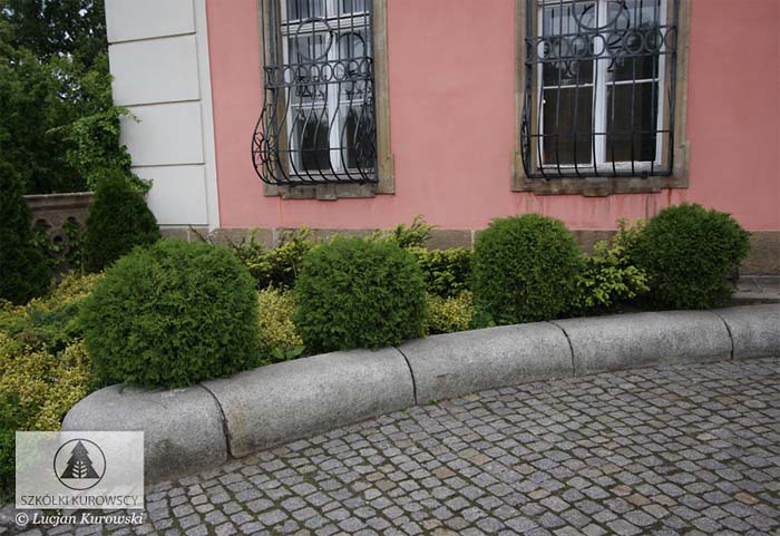 thuja-occidentalis-globosa-06.jpg