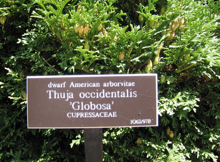 thuja-occidentalis-globosa-08.jpg