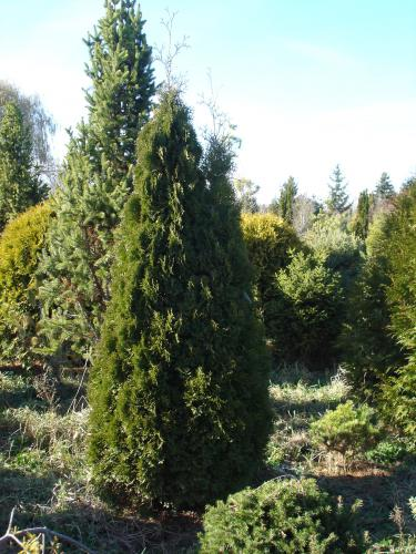 thuja-occidentalis-holmstrup-01.jpg