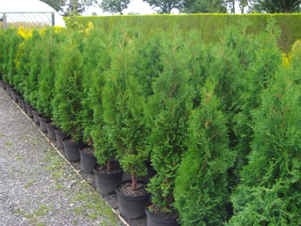 thuja-occidentalis-holmstrup-07.jpg