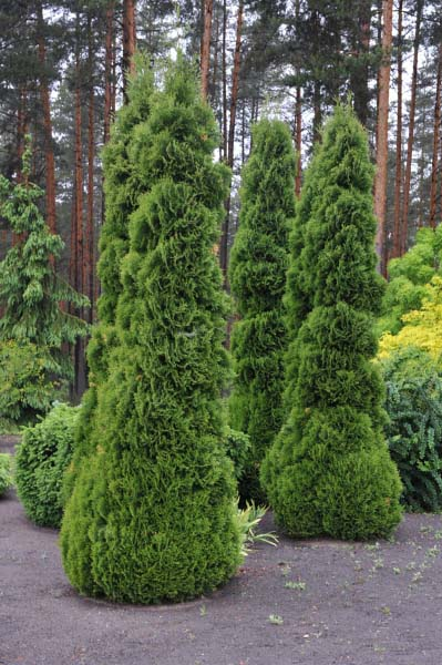 thuja-occidentalis-holmstrup-08.jpg