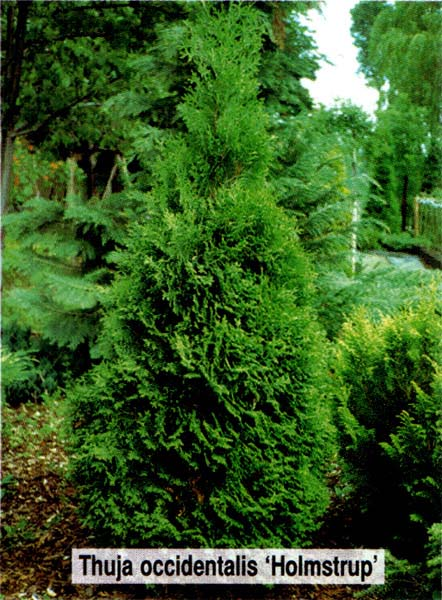 thuja-occidentalis-holmstrup-09.jpg
