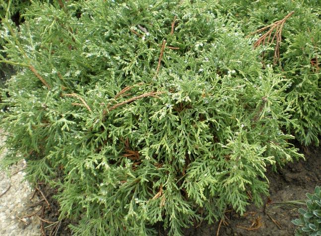 thuja-occidentalis-recurva-nana-04.jpg