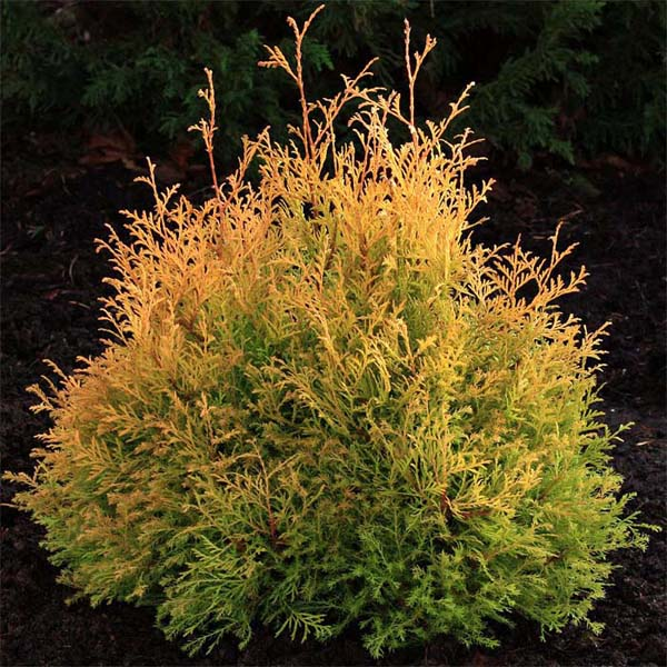 thuja-occidentalis-rheingold-01.jpg
