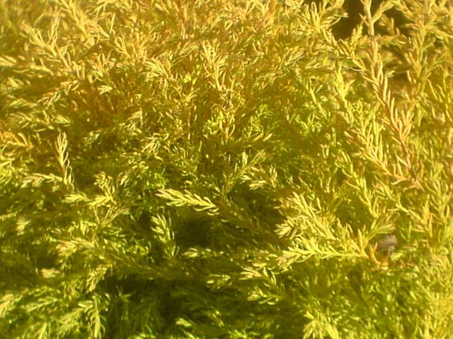thuja-occidentalis-rheingold-03.jpg