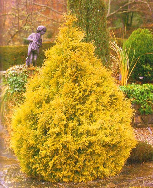 thuja-occidentalis-rheingold-04.jpg