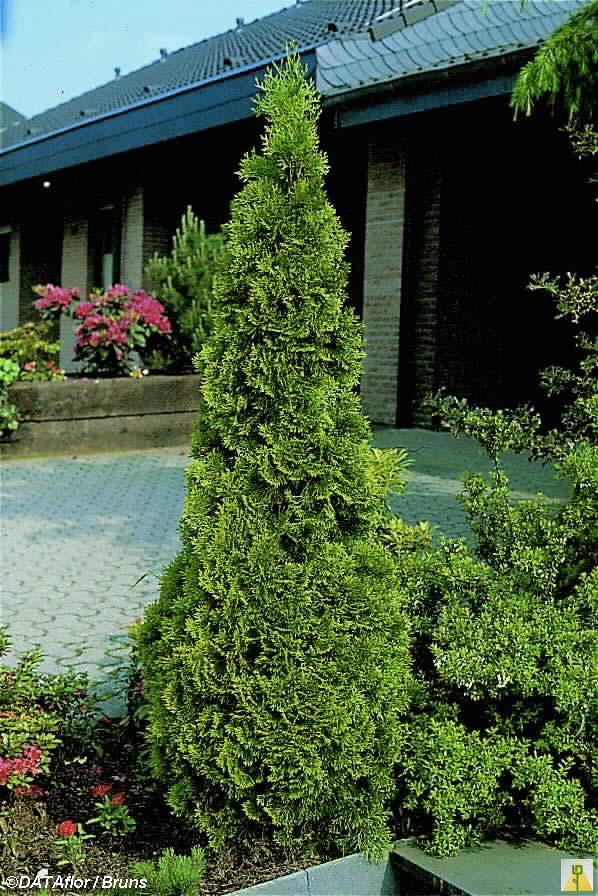 thuja-occidentalis-smaragd-03.jpg