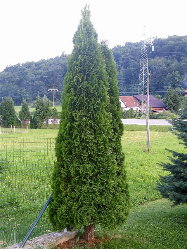 thuja-occidentalis-smaragd-04.jpg