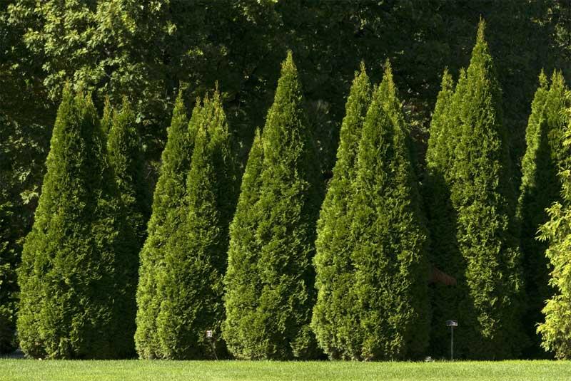 thuja-occidentalis-smaragd-05.jpg