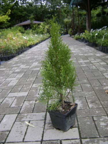 thuja-occidentalis-smaragd-19.jpg