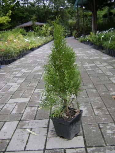 thuja-occidentalis-smaragd-19.jpg