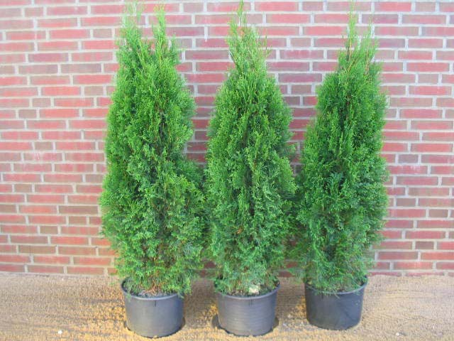 thuja-occidentalis-smaragd-20.jpg