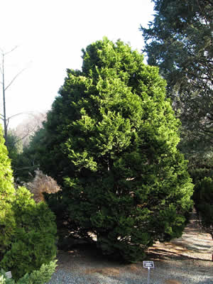 thuja-occidentalis-02.jpg