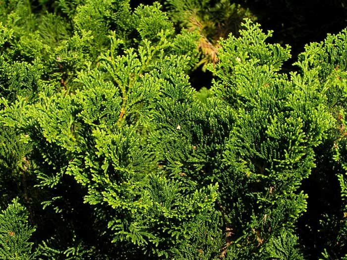 thuja-occidentalis-09.jpg
