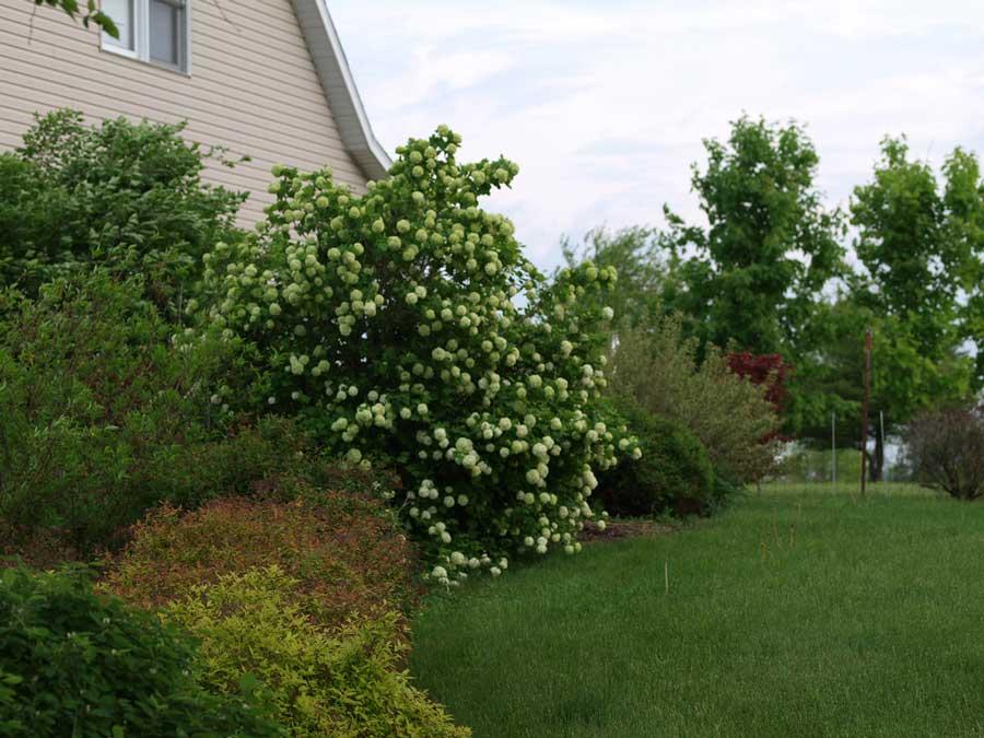 viburnum-roseum-05.jpg