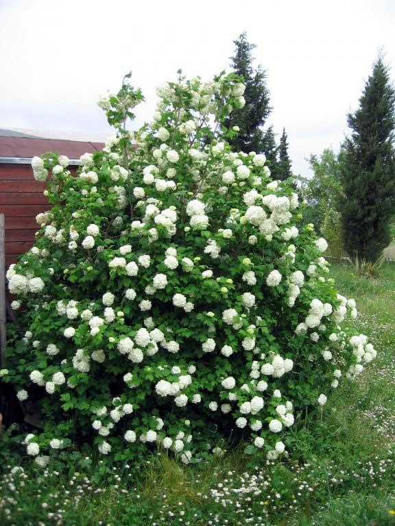 viburnum-roseum-08.jpg