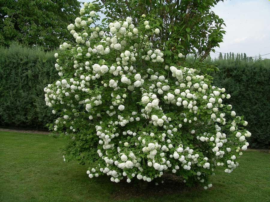 viburnum-roseum-09.jpg