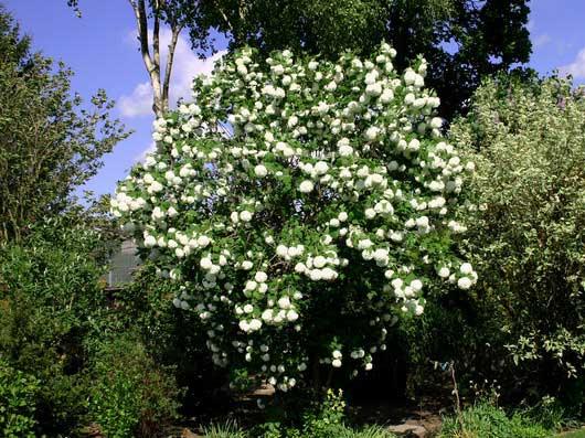 viburnum-roseum-10.jpg