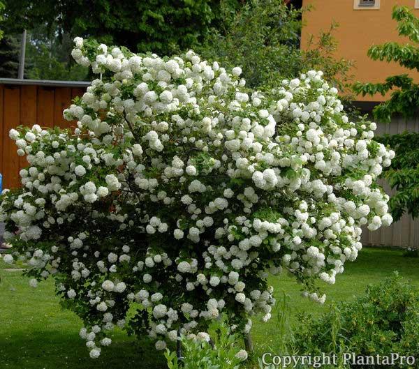viburnum-roseum-13.jpg