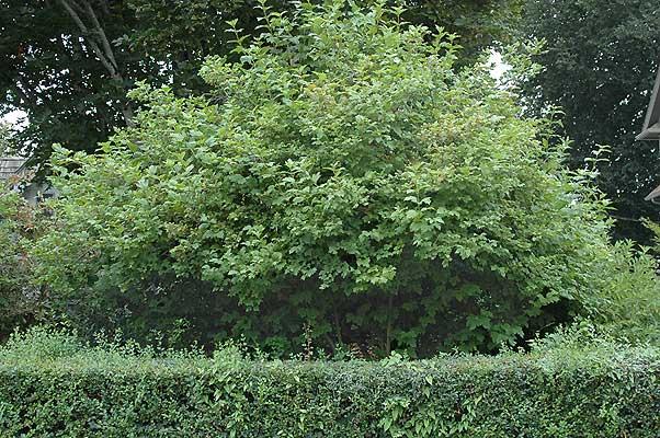 viburnum-roseum-14.jpg
