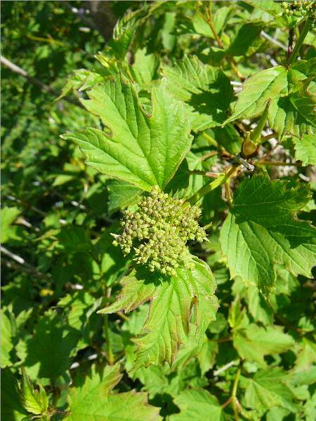 viburnum-roseum-16.jpg