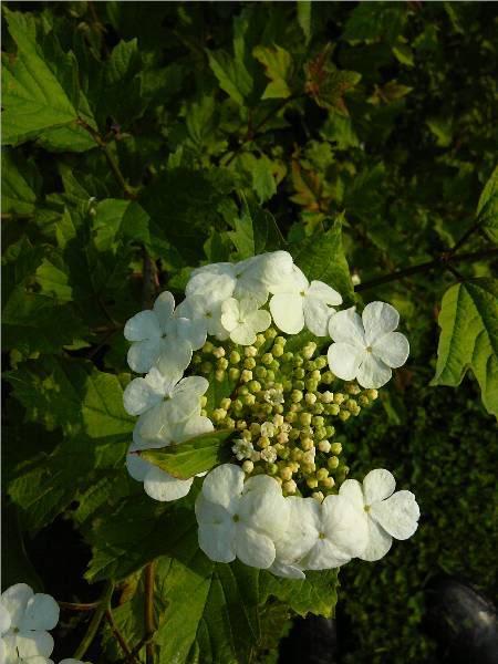viburnum-roseum-17.jpg