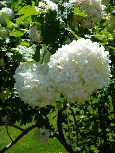viburnum-roseum-18.jpg