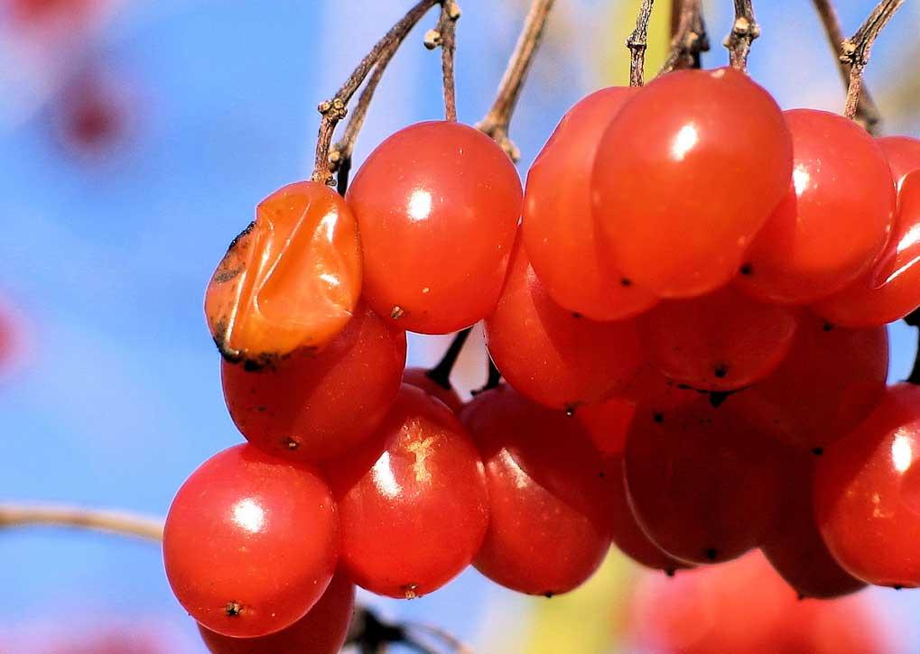 viburnum-roseum-20.jpg