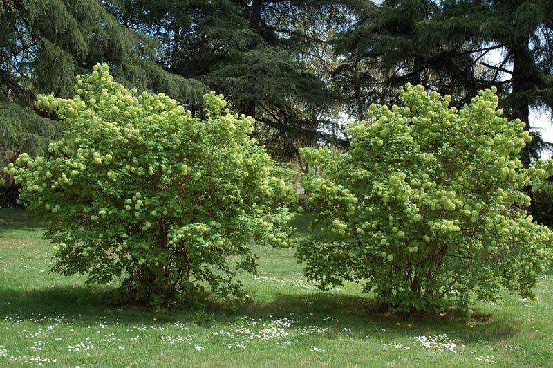 viburnum-opulus-04.jpg