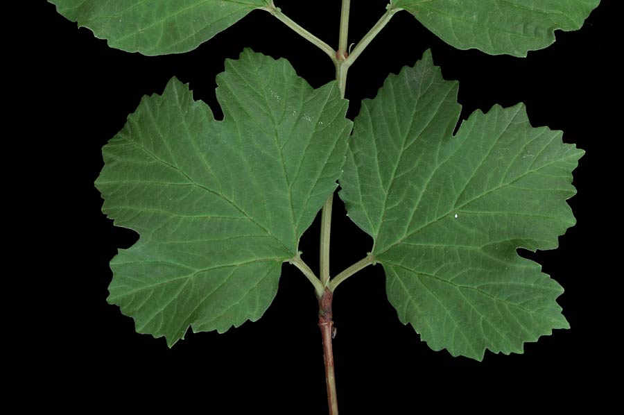 viburnum-opulus-05.jpg
