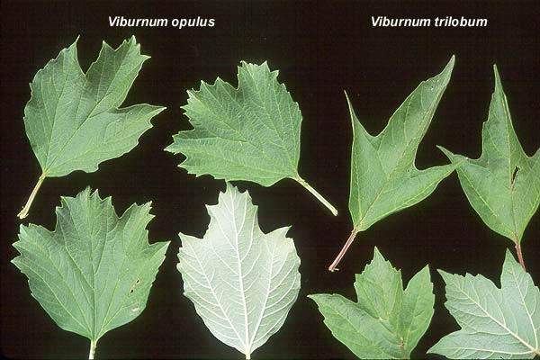 viburnum-opulus-06.jpg