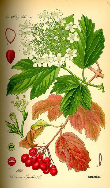 viburnum-opulus-09.jpg