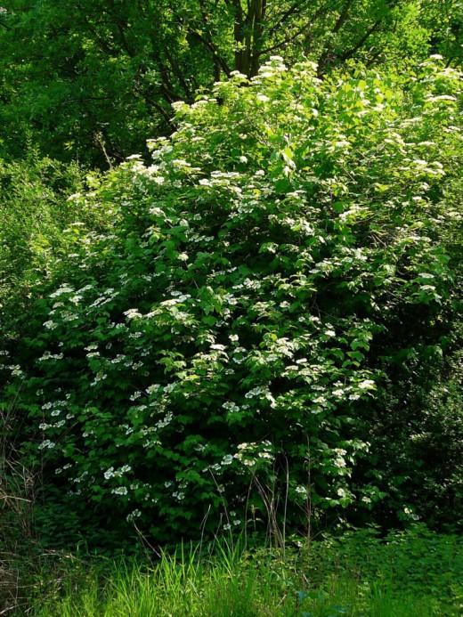 viburnum-opulus-11.jpg