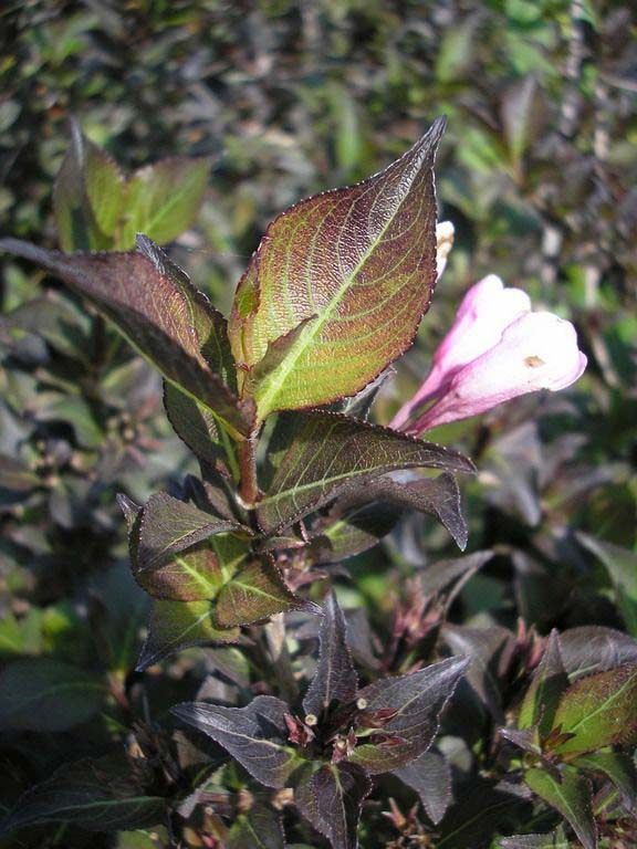 weigela-purpurea-07.jpg