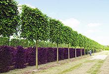 Формованные деревья в парке